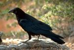C. Brachyrhynchos, the American crow